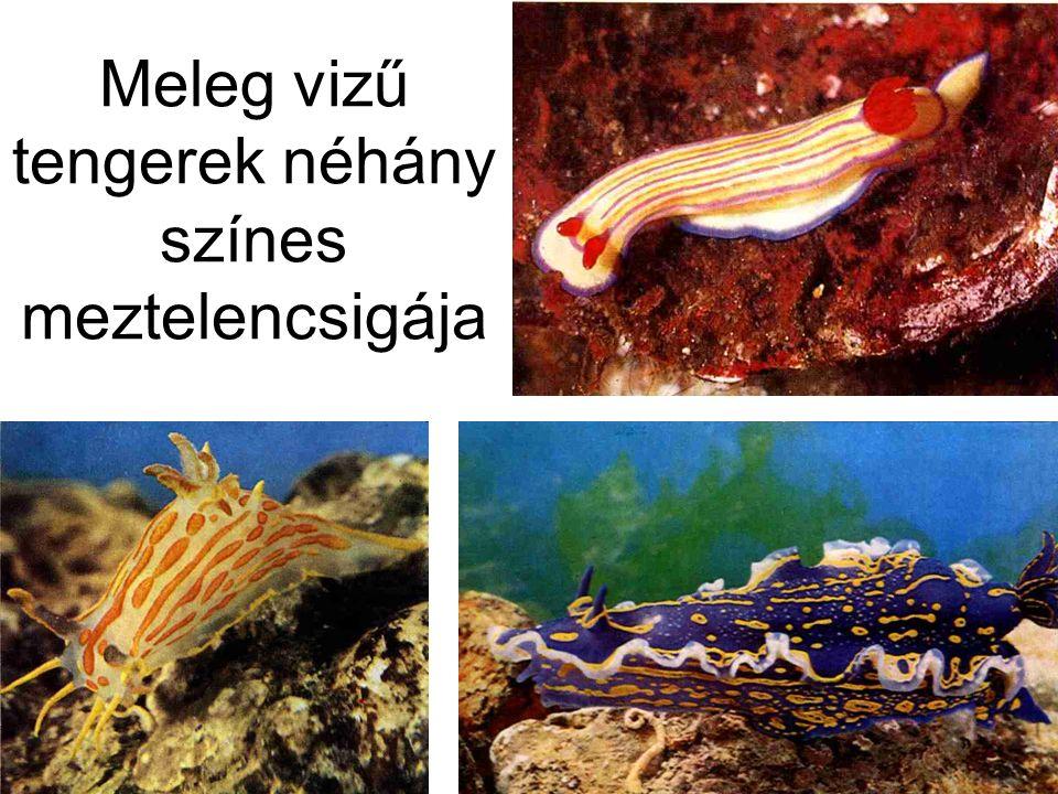 Meleg vizű tengerek néhány színes meztelencsigája
