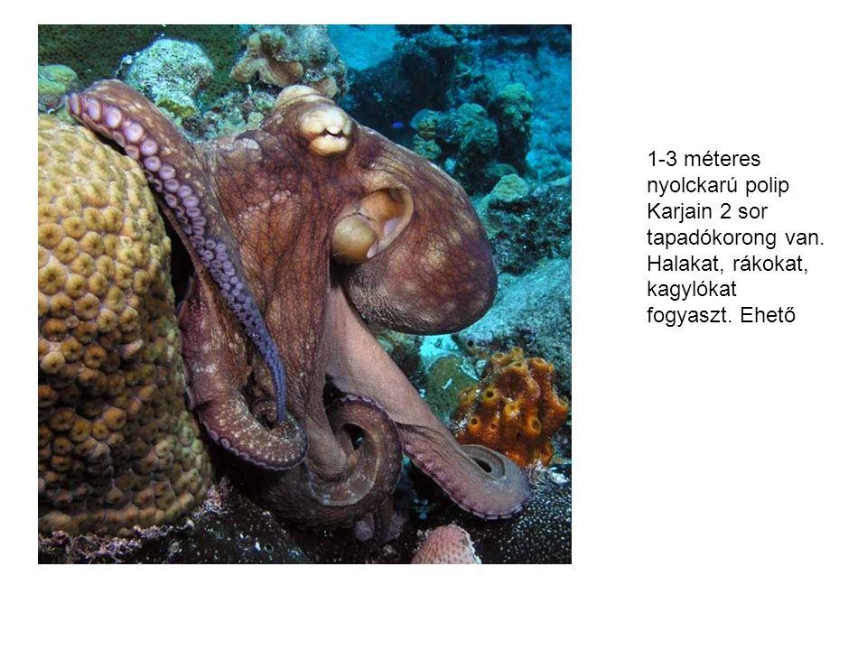 1-3 méteres nyolckarú polip Karjain 2 sor tapadókorong van.