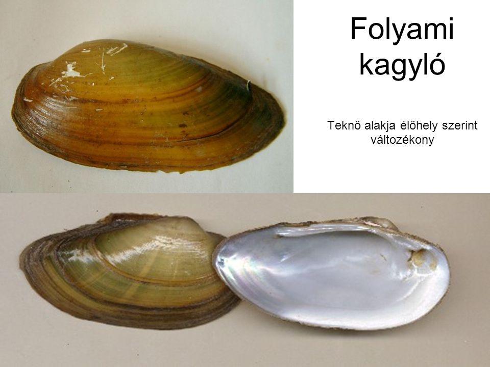 Folyami kagyló Teknő alakja élőhely szerint változékony