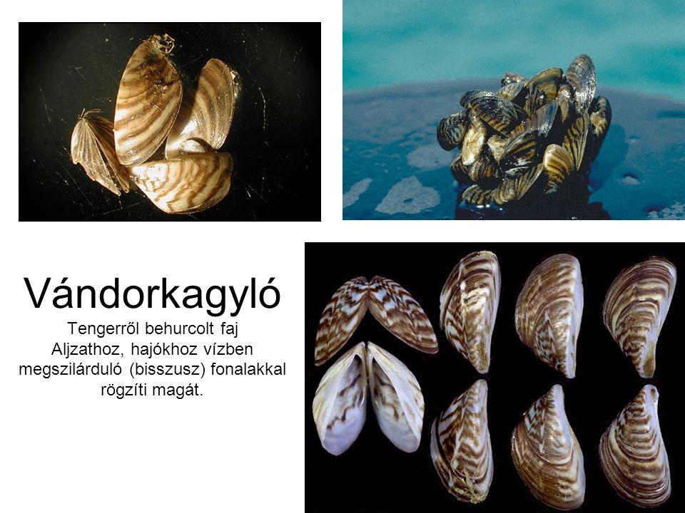 Vándorkagyló Tengerről behurcolt faj Aljzathoz, hajókhoz vízben megszilárduló (bisszusz) fonalakkal rögzíti magát.