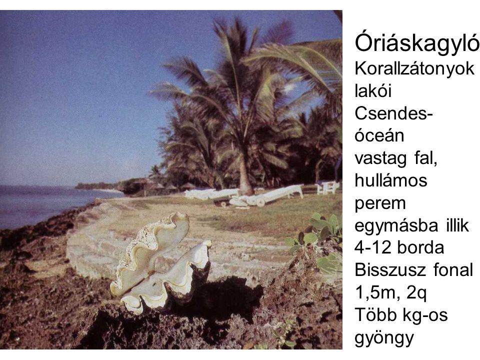 Óriáskagyló Korallzátonyok lakói Csendes- óceán vastag fal, hullámos perem egymásba illik 4-12 borda Bisszusz fonal 1,5m, 2q Több kg-os gyöngy