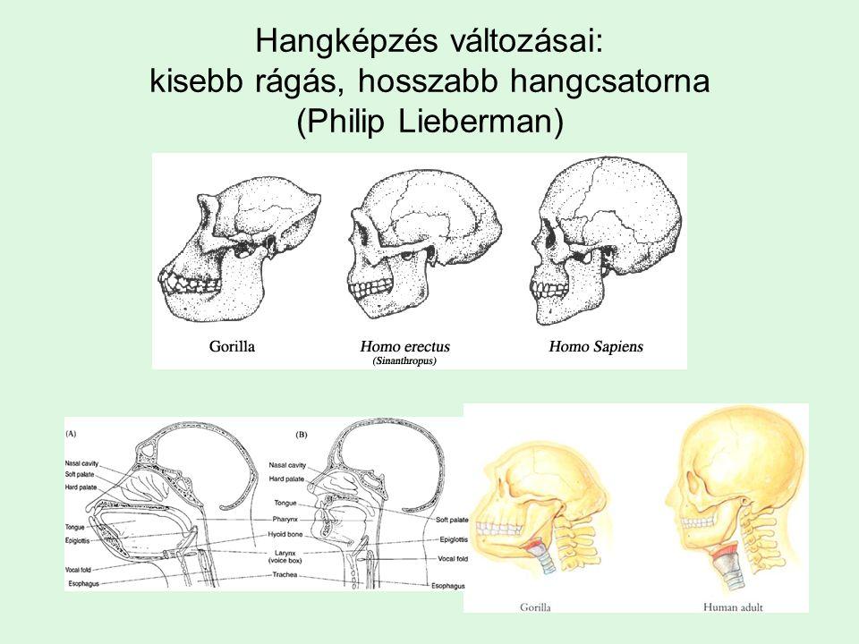 Hangképzés változásai: kisebb rágás, hosszabb hangcsatorna (Philip Lieberman)