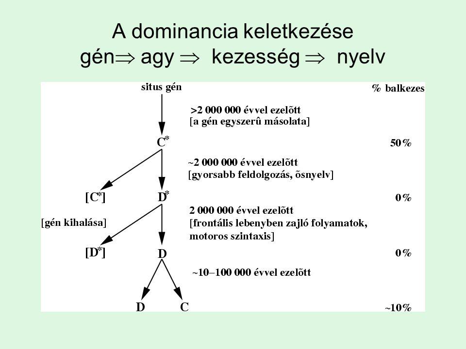 A dominancia keletkezése gén  agy  kezesség  nyelv