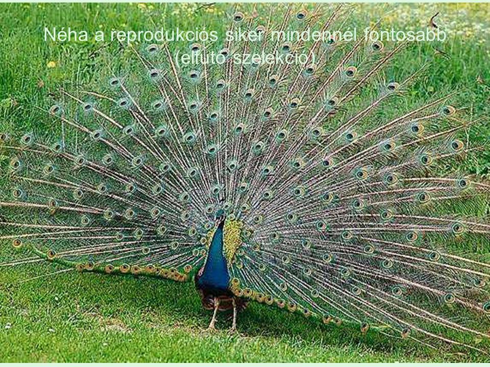 Néha a reprodukciós siker mindennél fontosabb (elfutó szelekció)