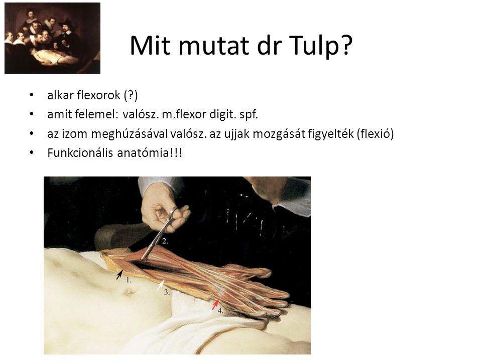Mit mutat dr Tulp? alkar flexorok (?) amit felemel: valósz. m.flexor digit. spf. az izom meghúzásával valósz. az ujjak mozgását figyelték (flexió) Fun
