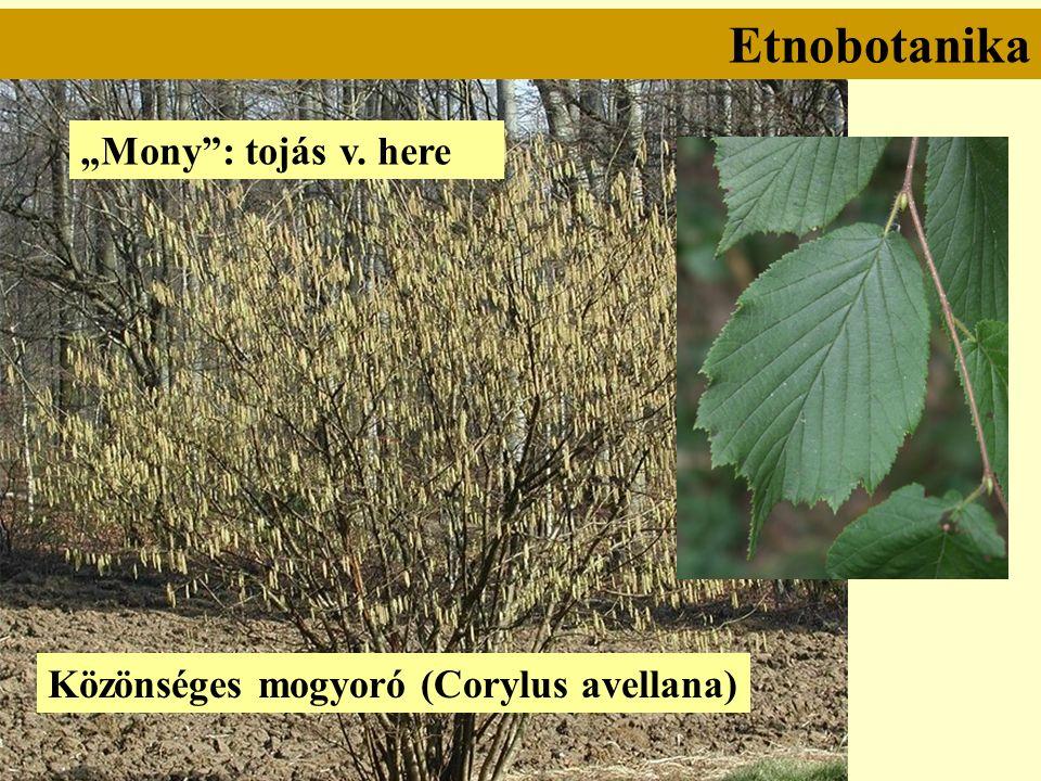 """Etnobotanika Közönséges mogyoró (Corylus avellana) """"Mony : tojás v. here"""