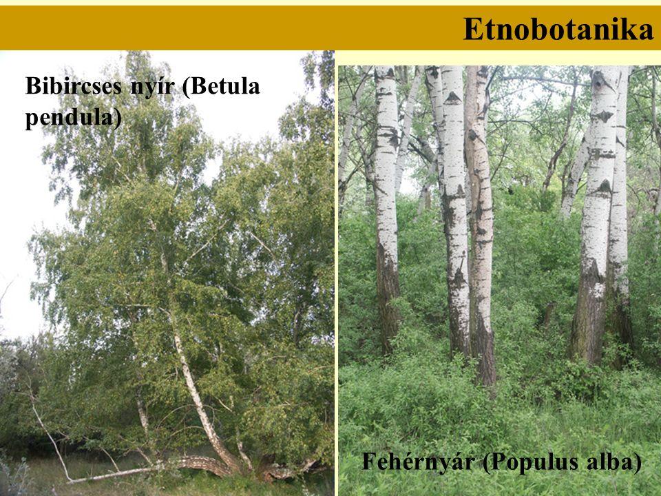 Etnobotanika Bibircses nyír (Betula pendula) Fehérnyár (Populus alba)