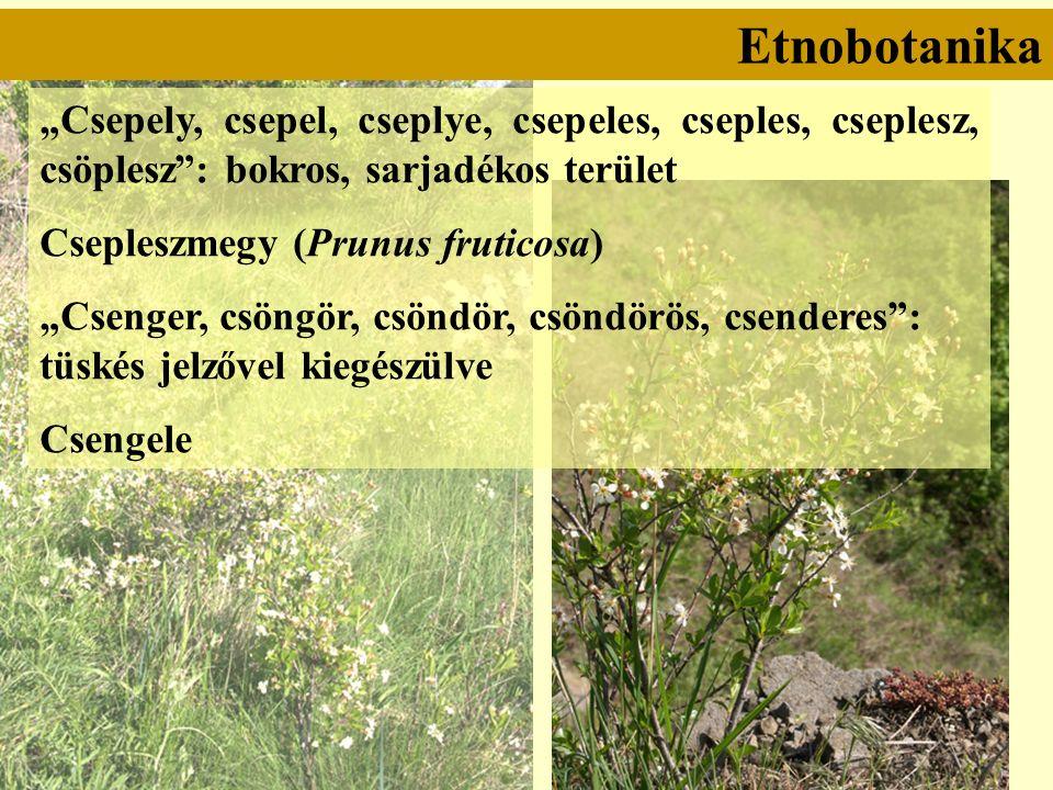 """Etnobotanika """"Csepely, csepel, cseplye, csepeles, cseples, cseplesz, csöplesz : bokros, sarjadékos terület Csepleszmegy (Prunus fruticosa) """"Csenger, csöngör, csöndör, csöndörös, csenderes : tüskés jelzővel kiegészülve Csengele"""