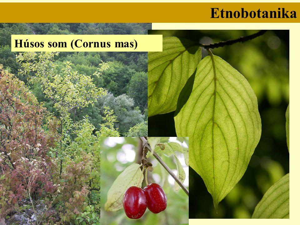 Etnobotanika Húsos som (Cornus mas)