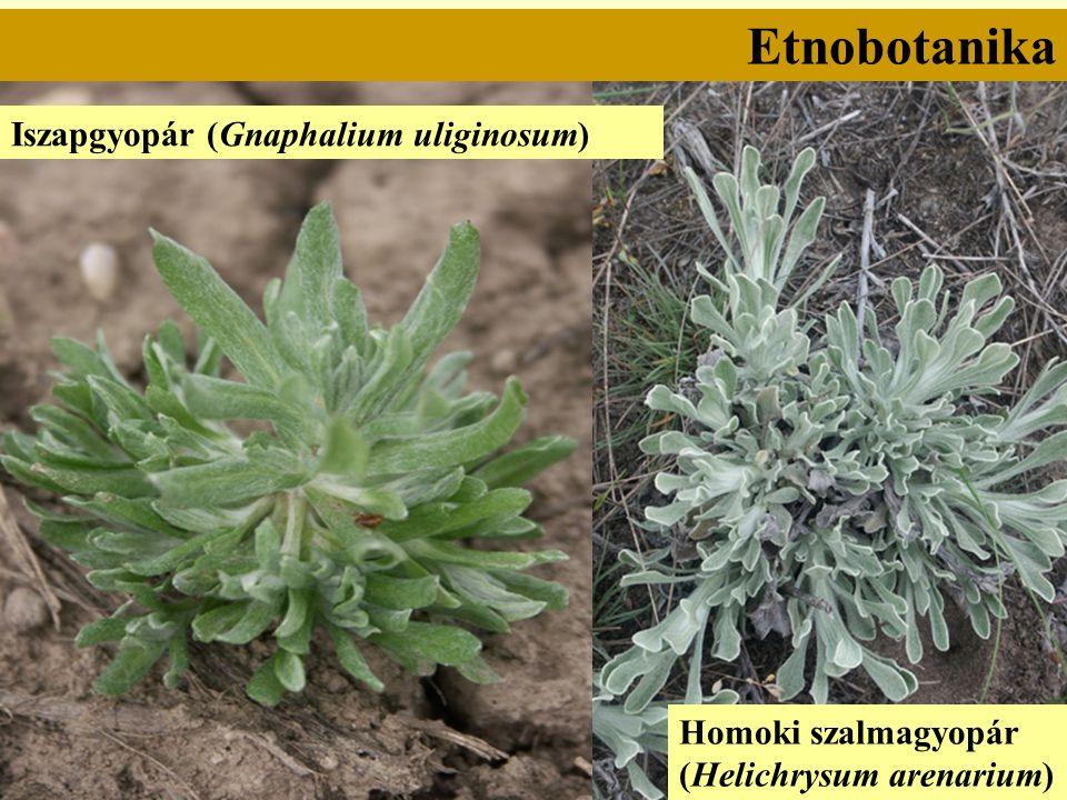 Etnobotanika Iszapgyopár (Gnaphalium uliginosum) Homoki szalmagyopár (Helichrysum arenarium)