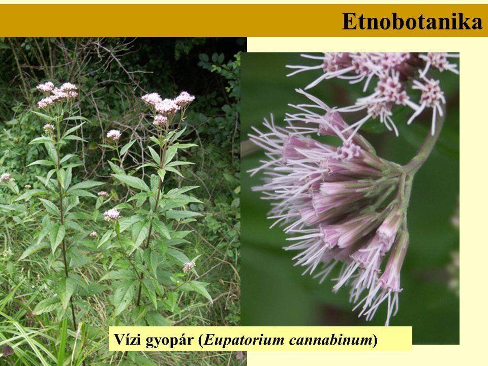 Etnobotanika Vízi gyopár (Eupatorium cannabinum)