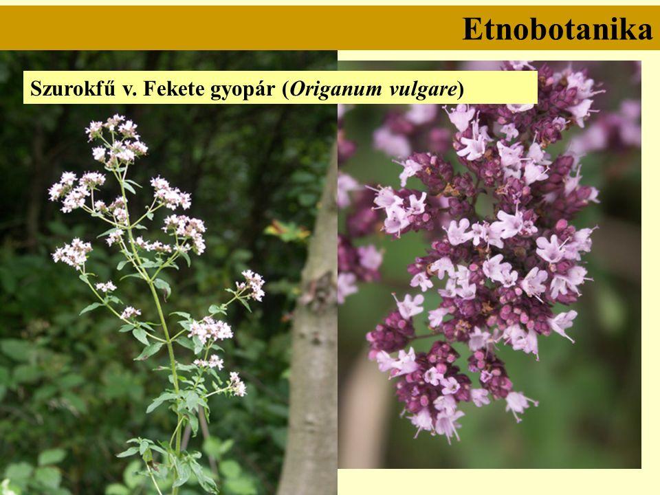 Szurokfű v. Fekete gyopár (Origanum vulgare) Etnobotanika