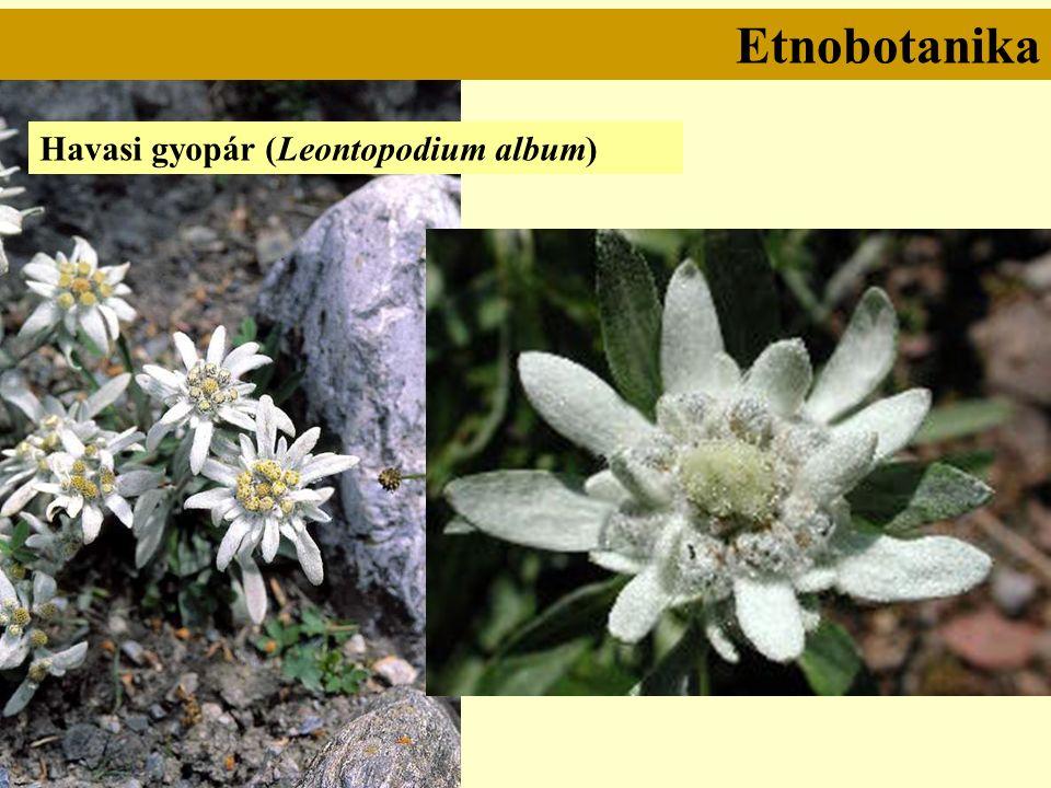 Havasi gyopár (Leontopodium album)