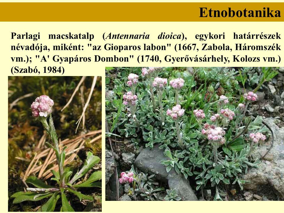 Etnobotanika Parlagi macskatalp (Antennaria dioica), egykori határrészek névadója, miként: az Gioparos labon (1667, Zabola, Háromszék vm.); A Gyapáros Dombon (1740, Gyerővásárhely, Kolozs vm.) (Szabó, 1984)