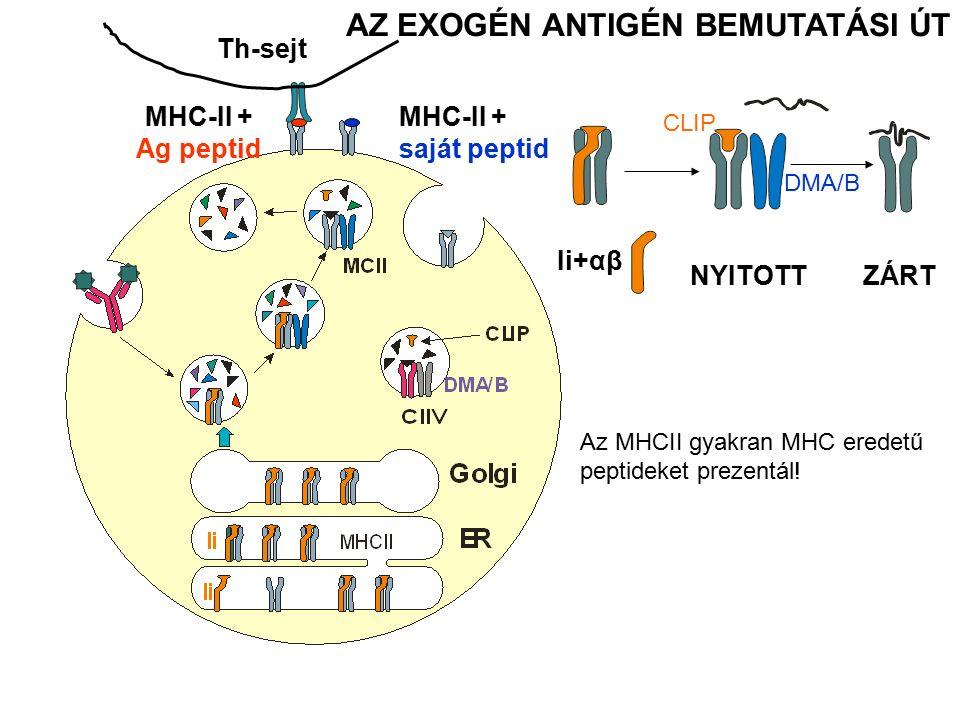 Th-sejt AZ EXOGÉN ANTIGÉN BEMUTATÁSI ÚT ZÁRTNYITOTT Ii+αβ CLIP DMA/B MHC-II + Ag peptid MHC-II + saját peptid Az MHCII gyakran MHC eredetű peptideket prezentál!