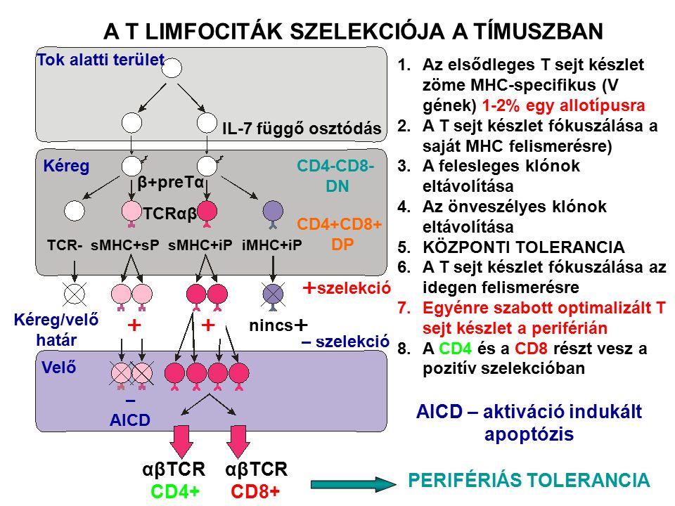 A recipiens immunrendszerét gátolják – γ-besugárzás, gyógyszeres –Nincs kilökődási reakció, HVG A donor csontvelői érett T limfocitái felismerik a befogadó szervezet szöveteit –Graft versus host reakció, GVH – minden szövet ellen –Akut autoimmun reakció, végzetes lehet –Az érett T limfociták eltávolítása megakadályozza a GVH reakciót –Methotrexate és cyclosporin A gátolja a GVHD –Az érett T limfociták eltávolítása kedvezőtlenül hat a graft megtapadására és gátolja a leukémia ellenes hatást valamint fokozza a kilökődési reakció elindulását A CSONTVELŐ ÁTÜLTETÉS A TRANSZPLANTÁCIÓ KÜLÖNLEGES ESETE A donor hematopoietikus és immunrendszerét ültetik át a befogadó szervezetbe
