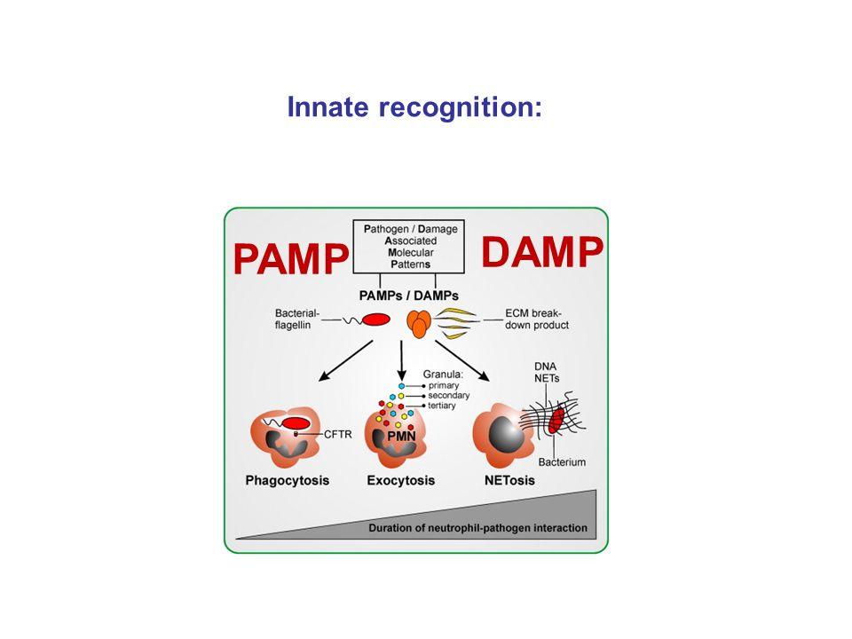 A donor és recipiens HLA allotípusainak minél jobb egyezése meghatározza az átültetés sikerét –Csökkenti az allo-reakció intenzitását és csökken a HVG  –Csökkenti a GVH reakciót  –A tímuszban biztosítja a graft antigének bemutatását a graft eredetű APC közvetítésével – közös MHC –A befogadó tímusz epitél sejtjei pozitív szelekció révén graft eredetű T limfociták képződését teszik lehetővé.