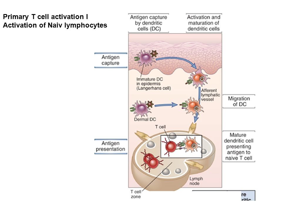 Intersticiális fibrózis és krónikus gyulladás.