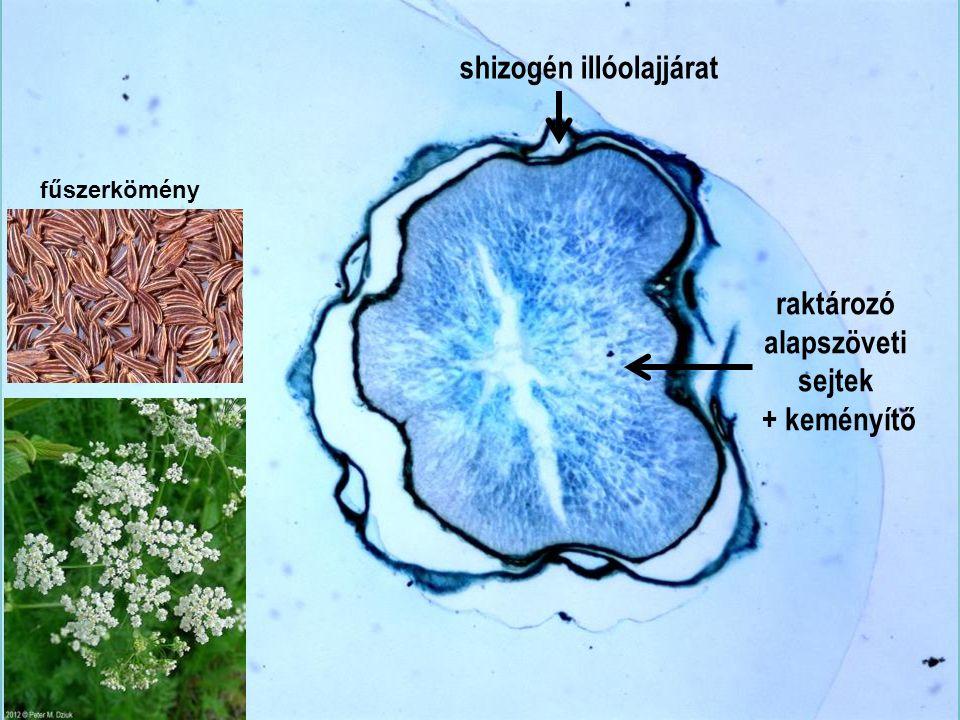 Carvi fructus km4x fűszerkömény raktározó alapszöveti sejtek + keményítő shizogén illóolajjárat