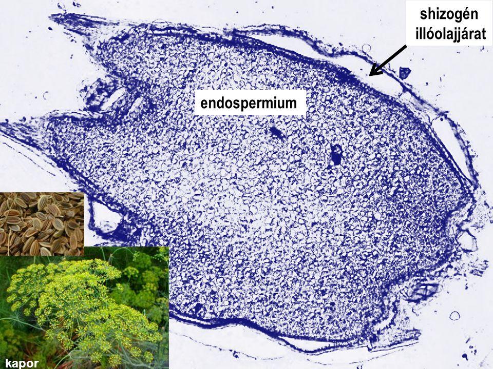 4. gyak_Anethi fructus shizogén illóolajjárat endospermium kapor