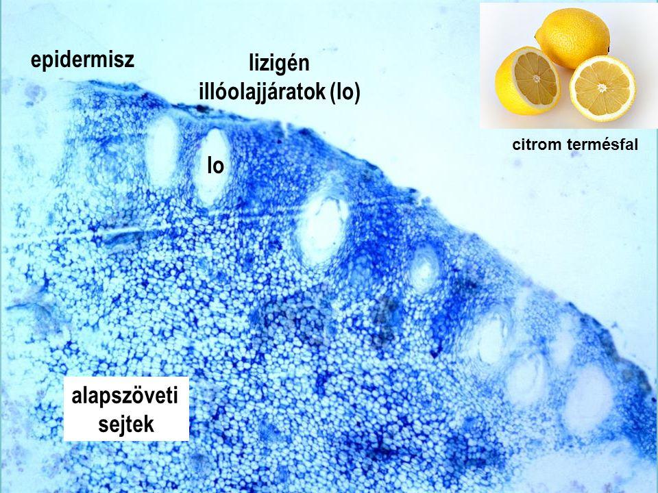 Citrus termésfal km4x epidermisz lizigén illóolajjáratok (lo) lo alapszöveti sejtek citrom termésfal