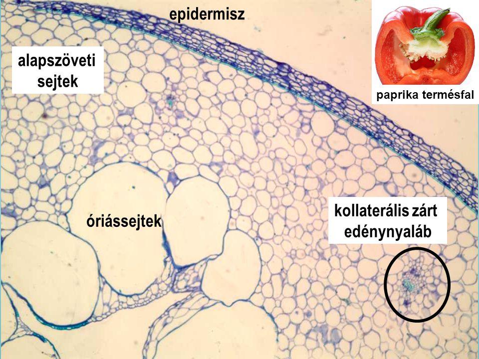 Capsici fructus_4x epidermisz alapszöveti sejtek kollaterális zárt edénynyaláb paprika termésfal óriássejtek
