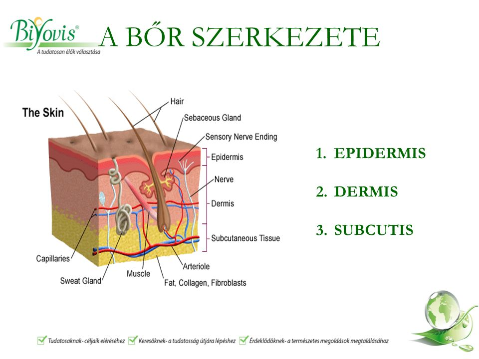 A BŐR SZERKEZETE 1.EPIDERMIS 2.DERMIS 3.SUBCUTIS