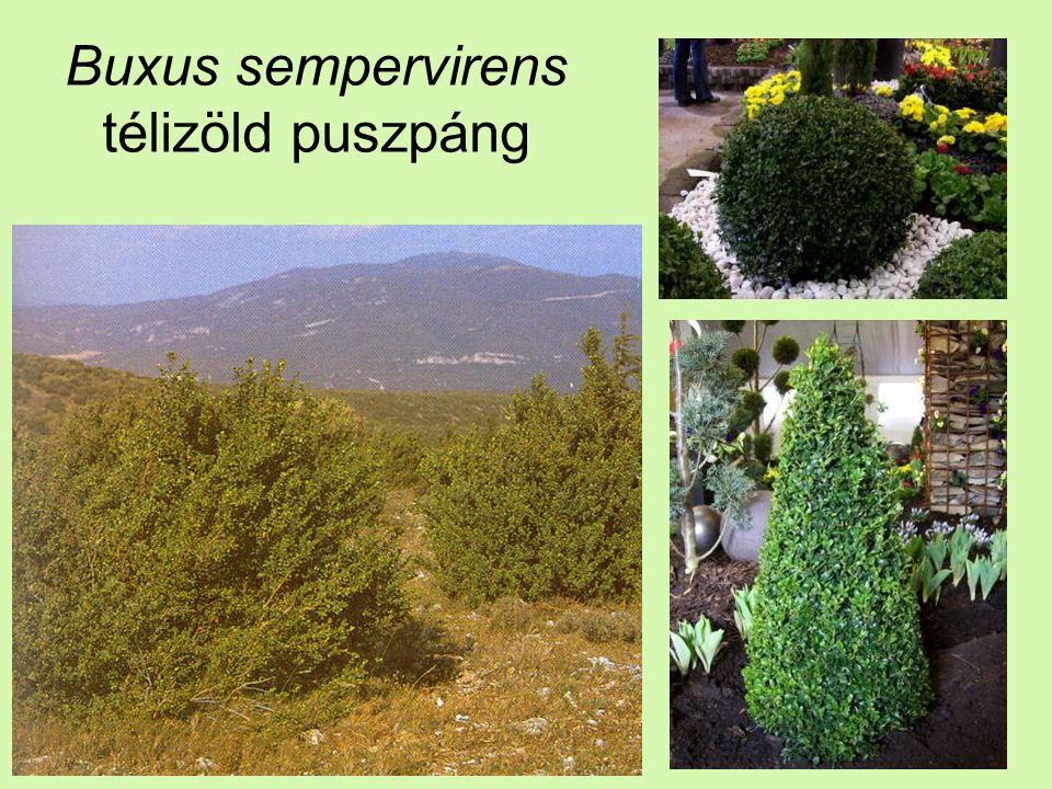 Buxus sempervirens télizöld puszpáng