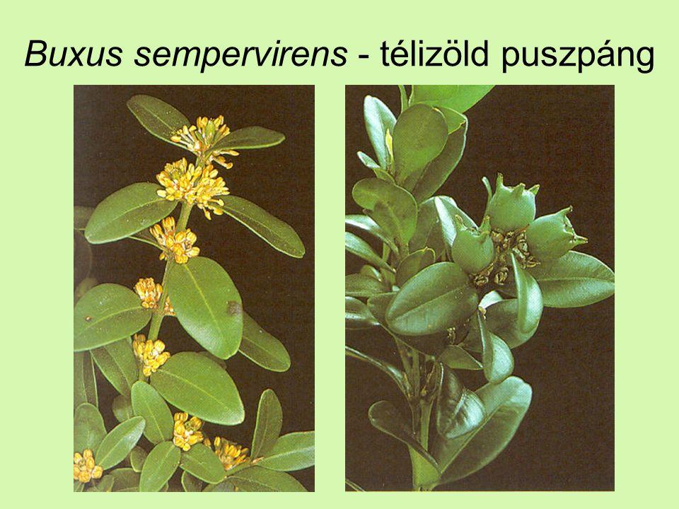 Buxus sempervirens - télizöld puszpáng