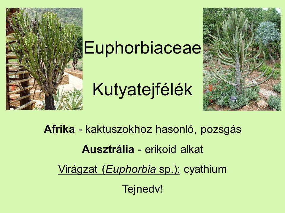 Euphorbiaceae Kutyatejfélék Afrika - kaktuszokhoz hasonló, pozsgás Ausztrália - erikoid alkat Virágzat (Euphorbia sp.): cyathium Tejnedv!