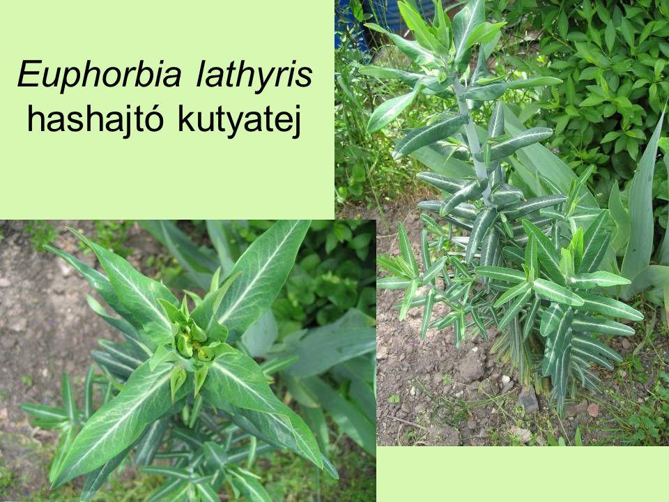 Euphorbia lathyris hashajtó kutyatej
