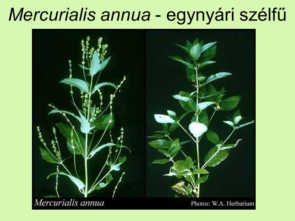 Mercurialis annua - egynyári szélfű