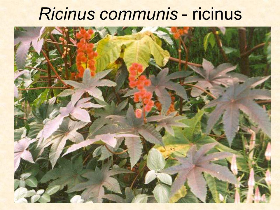 Ricinus communis - ricinus