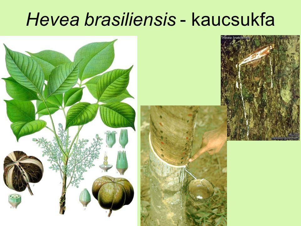 Hevea brasiliensis - kaucsukfa