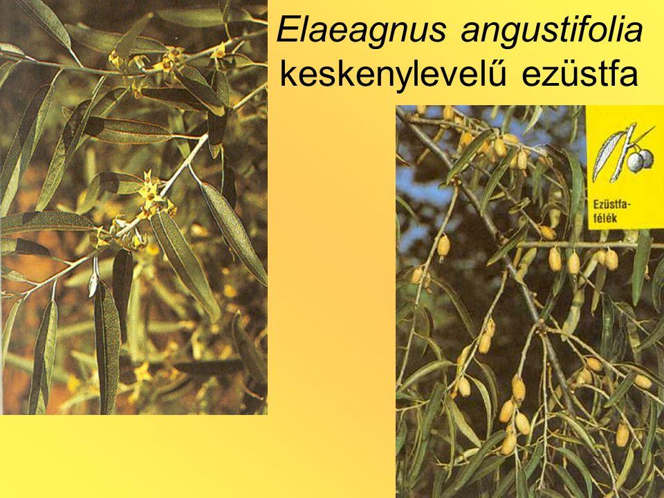 Elaeagnus angustifolia keskenylevelű ezüstfa