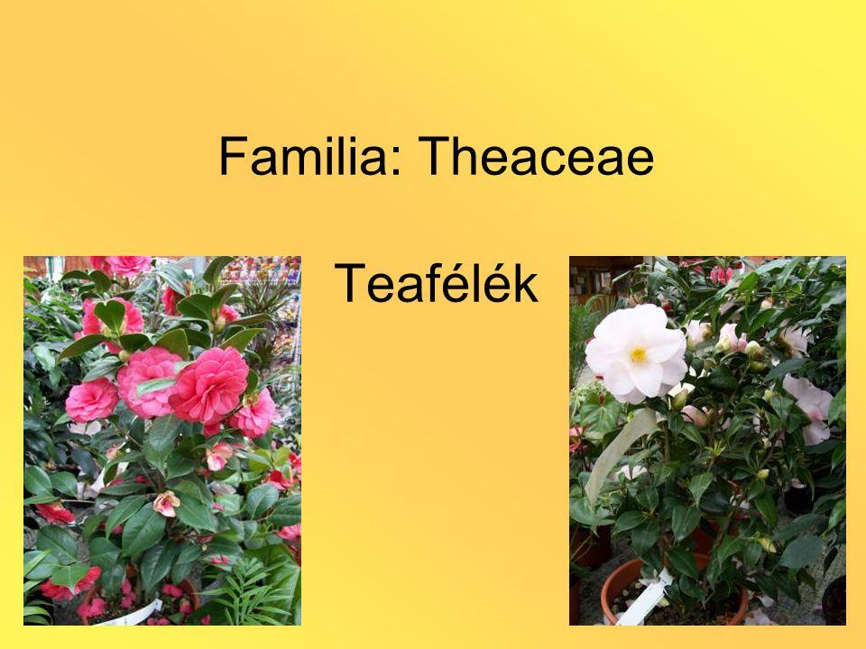 Familia: Theaceae Teafélék