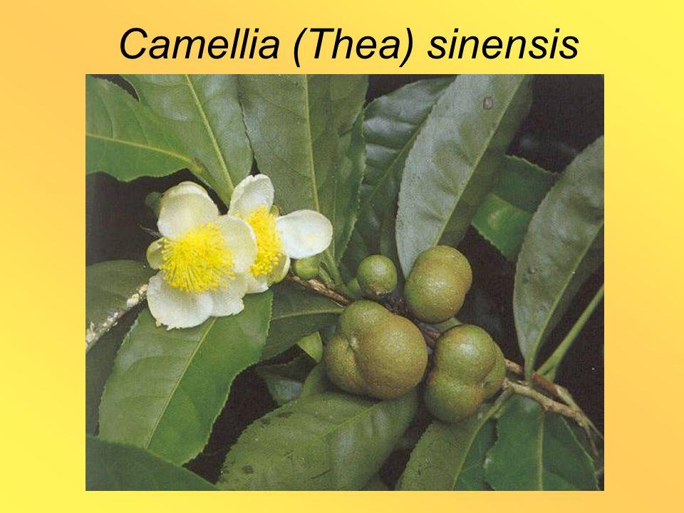 Camellia (Thea) sinensis