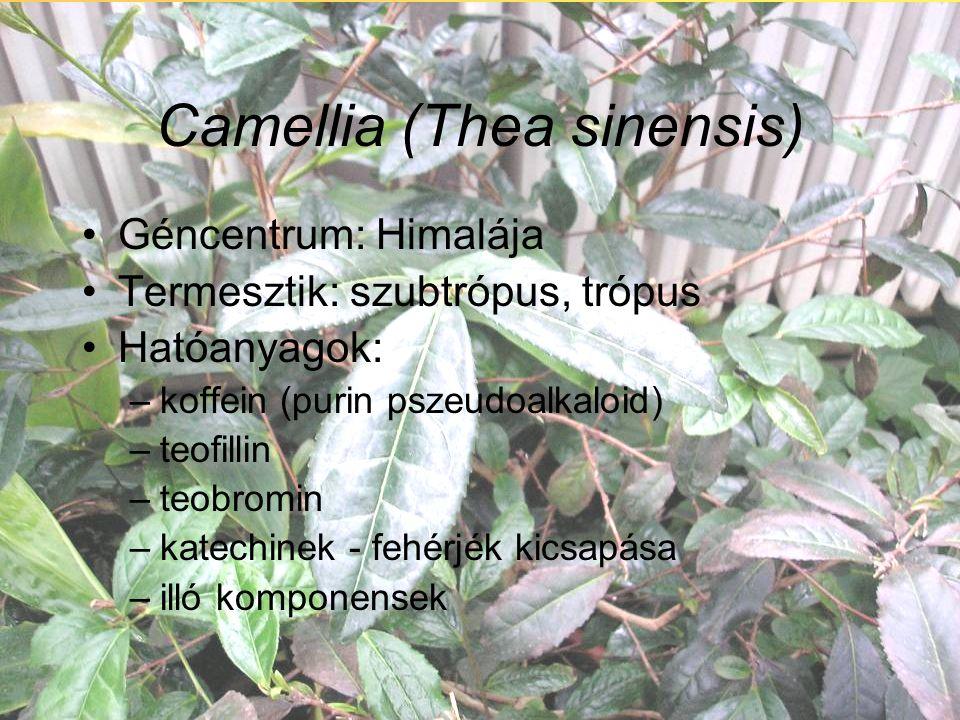 Camellia (Thea sinensis) Géncentrum: Himalája Termesztik: szubtrópus, trópus Hatóanyagok: –koffein (purin pszeudoalkaloid) –teofillin –teobromin –katechinek - fehérjék kicsapása –illó komponensek