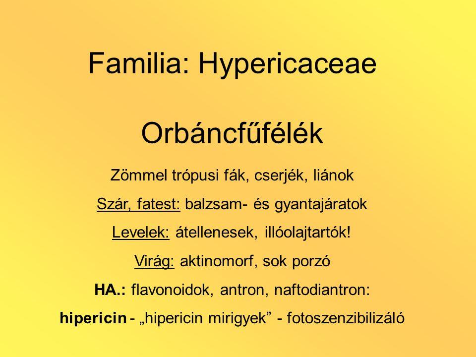 Familia: Hypericaceae Orbáncfűfélék Zömmel trópusi fák, cserjék, liánok Szár, fatest: balzsam- és gyantajáratok Levelek: átellenesek, illóolajtartók.