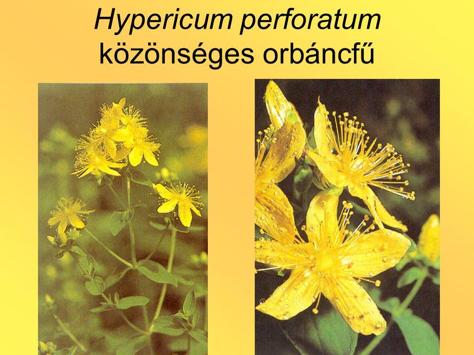 Hypericum perforatum közönséges orbáncfű