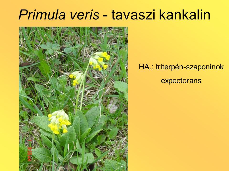 Primula veris - tavaszi kankalin HA.: triterpén-szaponinok expectorans