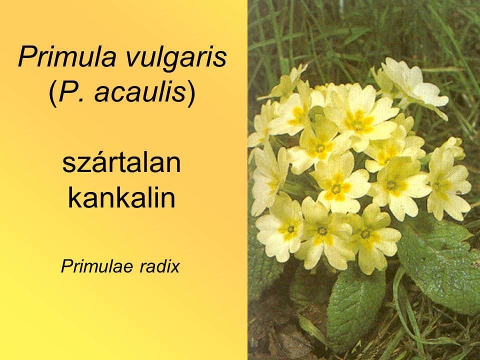 Primula vulgaris (P. acaulis) szártalan kankalin Primulae radix