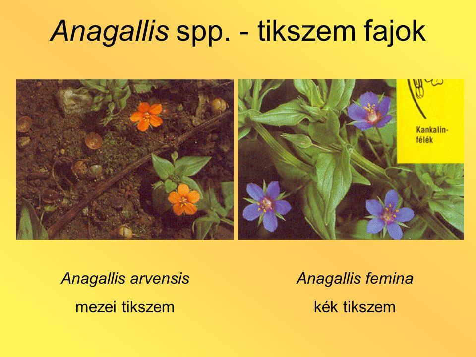 Anagallis spp. - tikszem fajok Anagallis arvensis mezei tikszem Anagallis femina kék tikszem