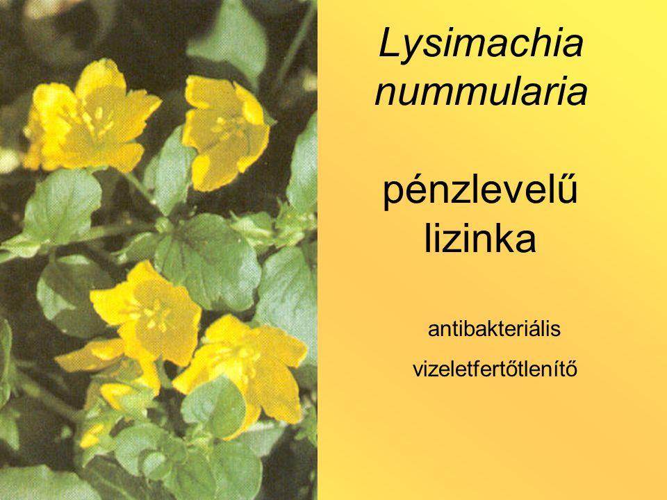 Lysimachia nummularia pénzlevelű lizinka antibakteriális vizeletfertőtlenítő