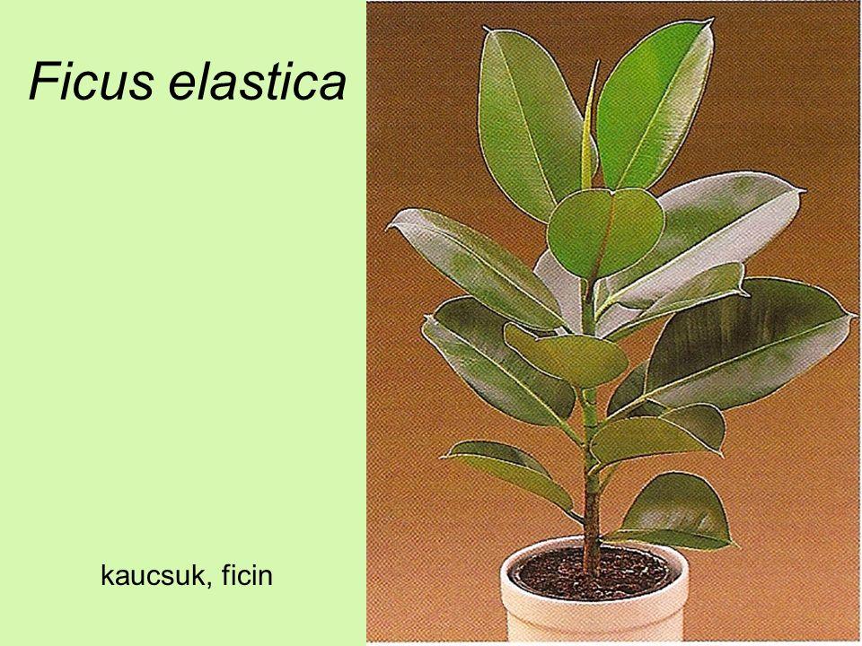 Ficus elastica kaucsuk, ficin