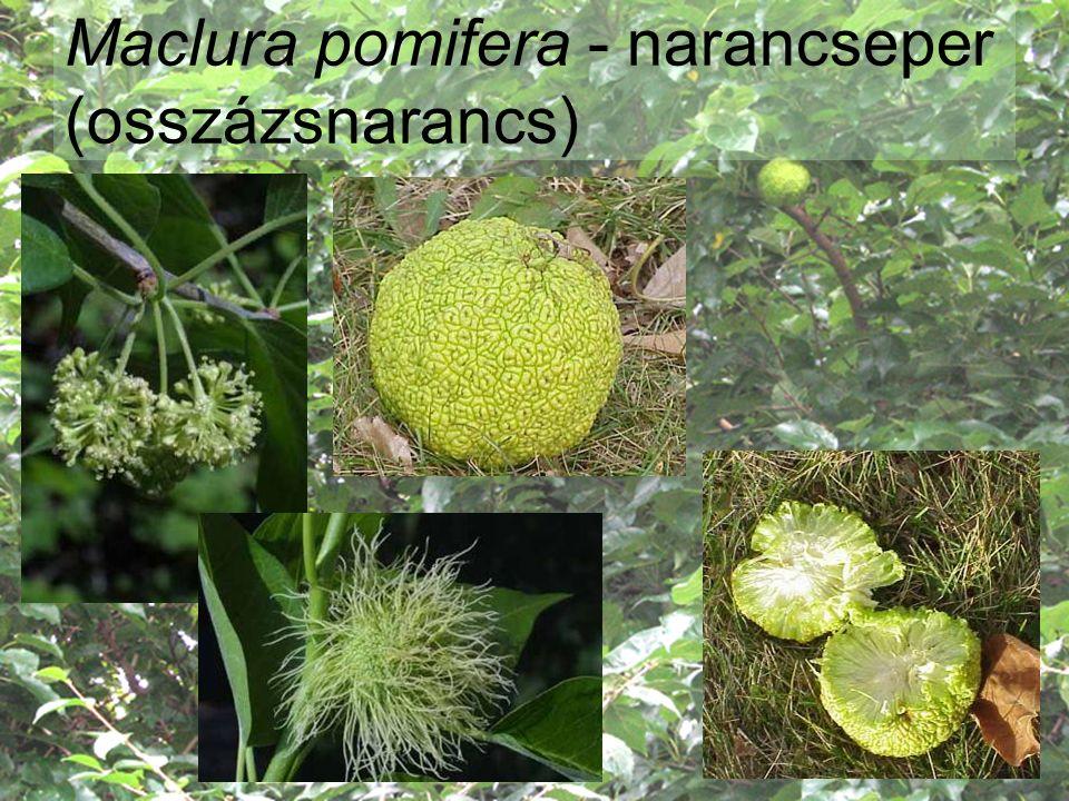 Maclura pomifera - narancseper (osszázsnarancs)