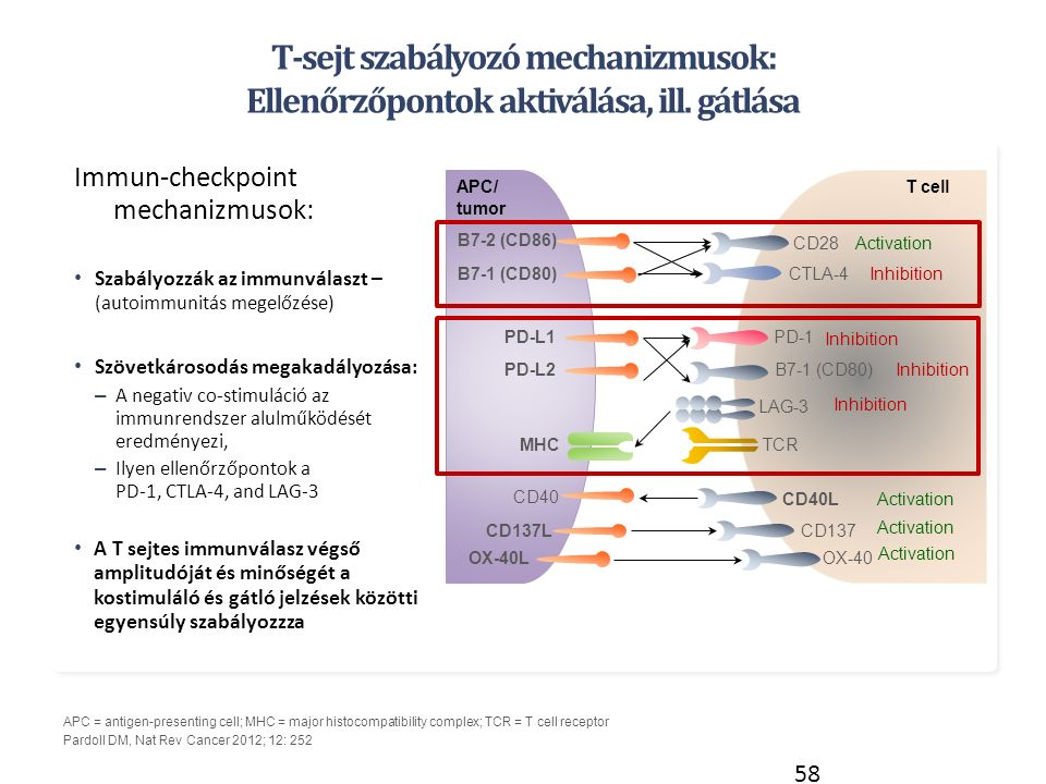 APC = antigen-presenting cell; MHC = major histocompatibility complex; TCR = T cell receptor Pardoll DM, Nat Rev Cancer 2012; 12: 252 T-sejt szabályozó mechanizmusok: Ellenőrzőpontok aktiválása, ill.