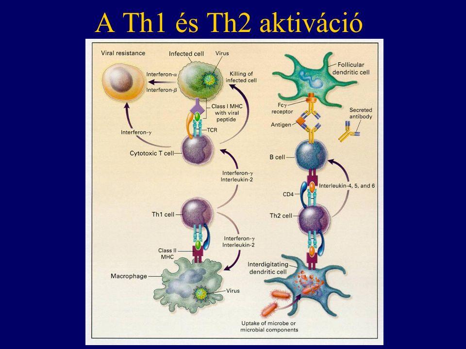 A Th1 és Th2 aktiváció