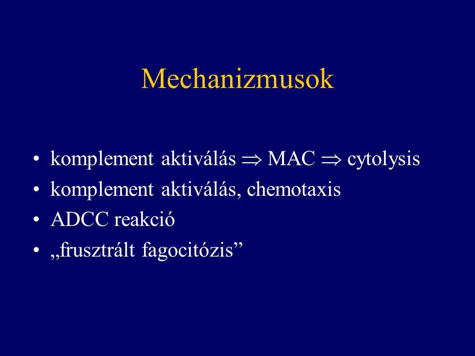 """Mechanizmusok komplement aktiválás  MAC  cytolysis komplement aktiválás, chemotaxis ADCC reakció """"frusztrált fagocitózis"""