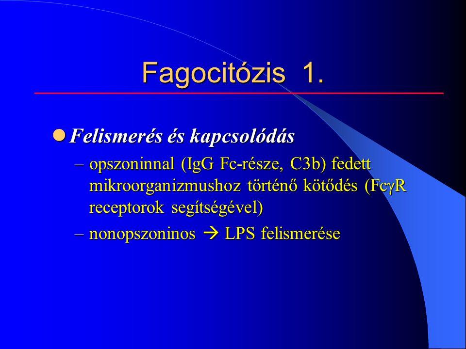 Fagocitózis 1.